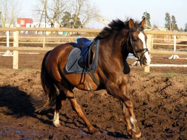 Brown horse cantering