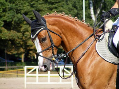 Chestnut sport horse with bridle