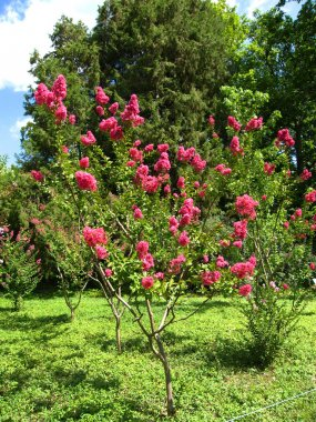 Pink lagerstroemia