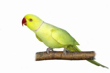 Rose ringed parakeet (Yellow) Psittacula krameri on branch