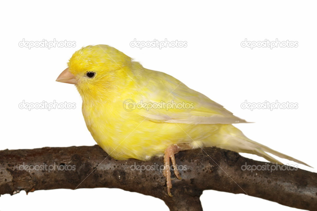 Yellow canary Serinus canaria on white background