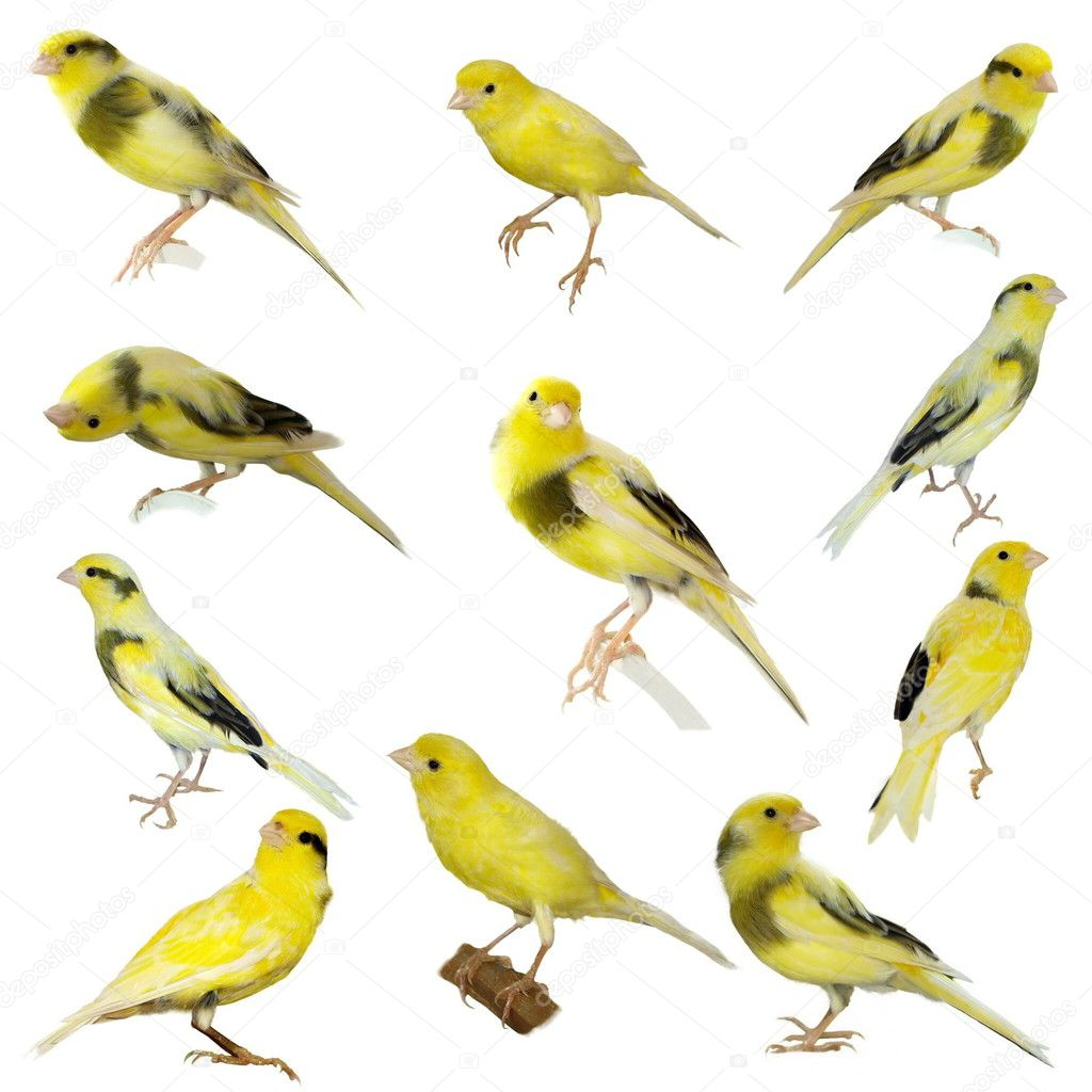 Set Yellow canary Serinus canaria isolated on white background