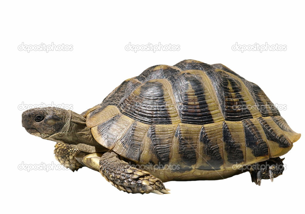 Turtle isolated on white background testudo hermanni,