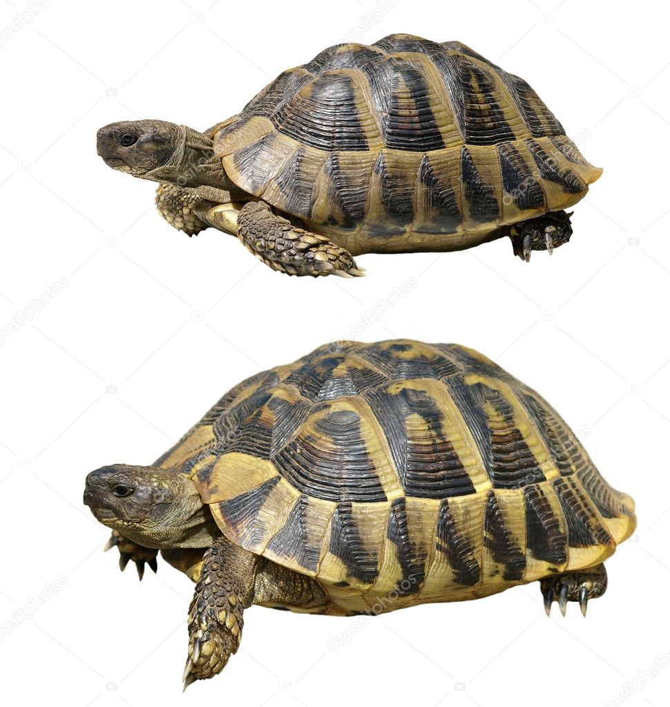 Turtle isolated on white ,testudo hermanni, (Herman's Tortoise)