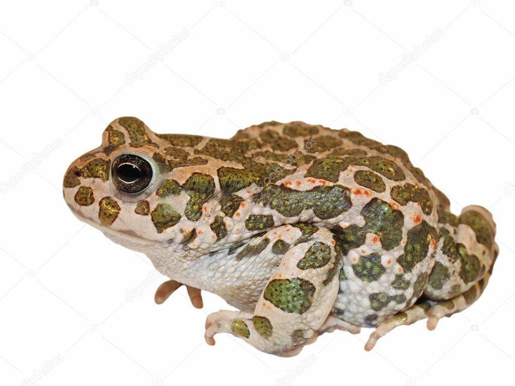 European Green Toad isolated on white, Pseudepidalea virdis (Bufo viridis),