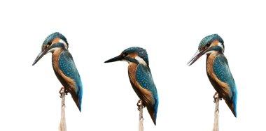 Set Common Kingfisher isolated on white