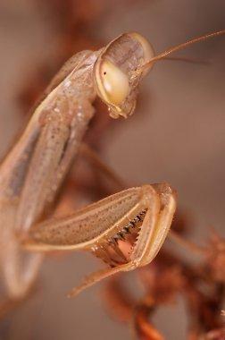 Praying mantis ( Mantis religiosa )