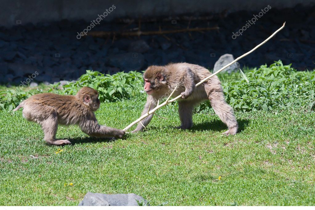 Two Macaque Monkey's playing tug-of-war
