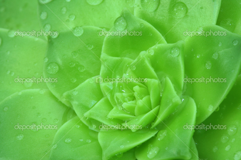 Green Aeonium with a drops water. Background