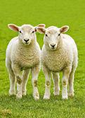 gemello agnelli