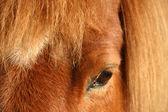 Dánský koně 01