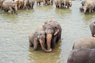 Elefants in the river are relaxing and hugging with their russels
