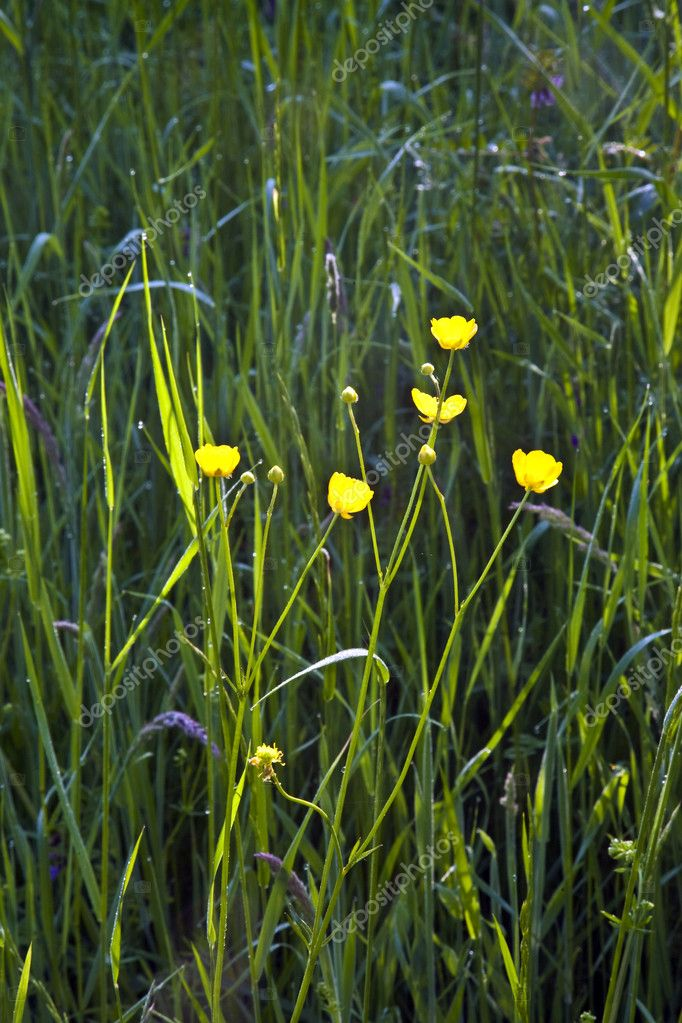 Field with corn and yellow butter flowers