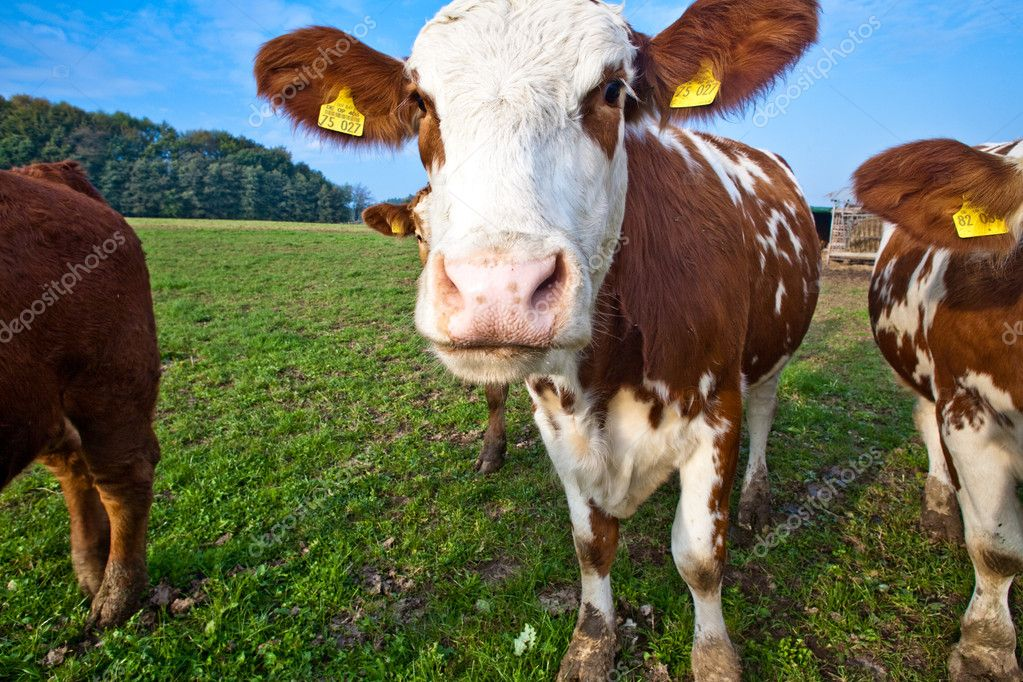 Friendly cattles on green granzing land are trusty