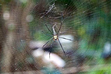 Big spider sitting in the net