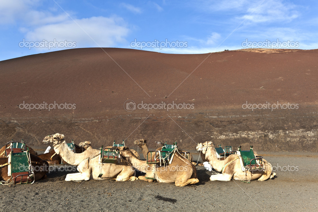 Camels in the national park in Lanzarote