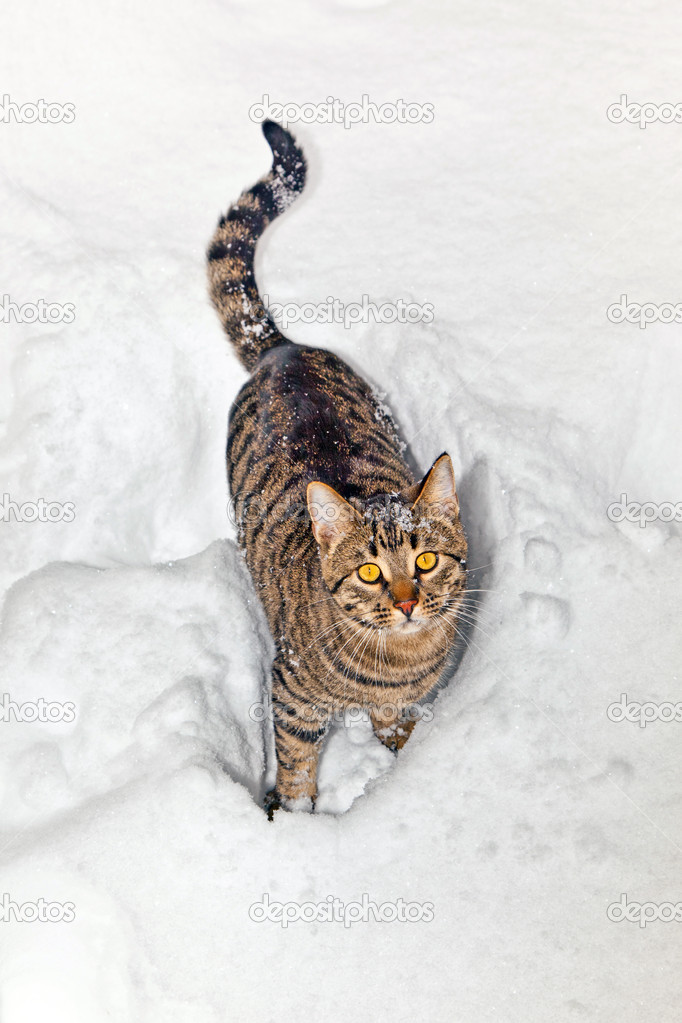 Tiger cat in snow