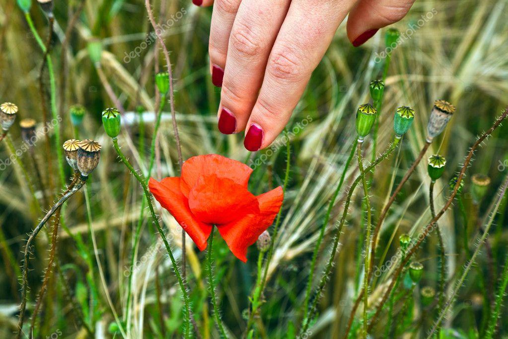 dedo con uña roja tocando una flor flor amapola — Foto de stock ...