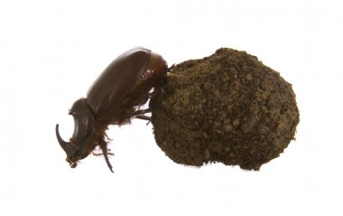 Dungbeetles rolling a ball