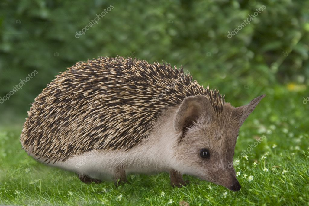 Hedgehog on nature