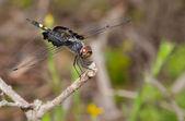 vážka černá sedle odpočívá na větvičce