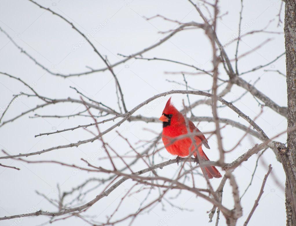 Bright red Northern Cardinal bird