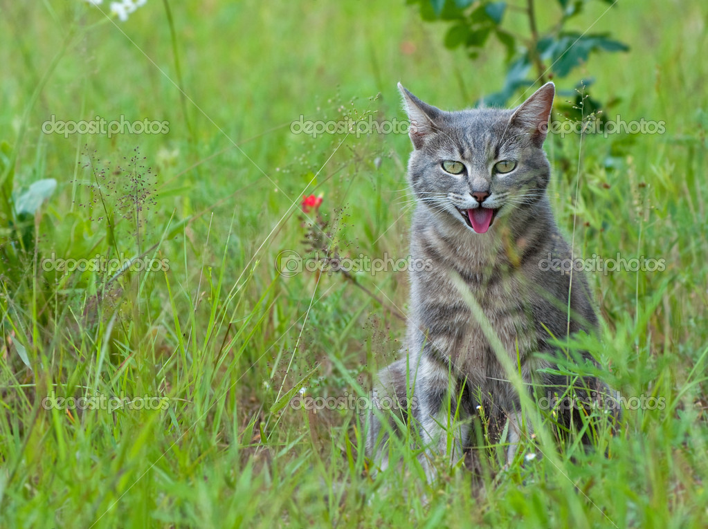 Blue tabby cat panting in hot weather