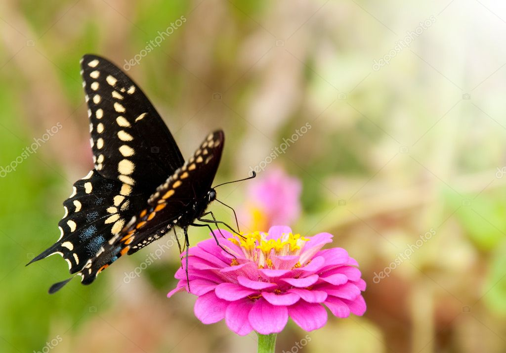 Eastern Black Swallowtail butterfly, Papilio polyxenes asterius