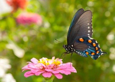 Green Swallowtail butterfly feeding on a pink Zinnia