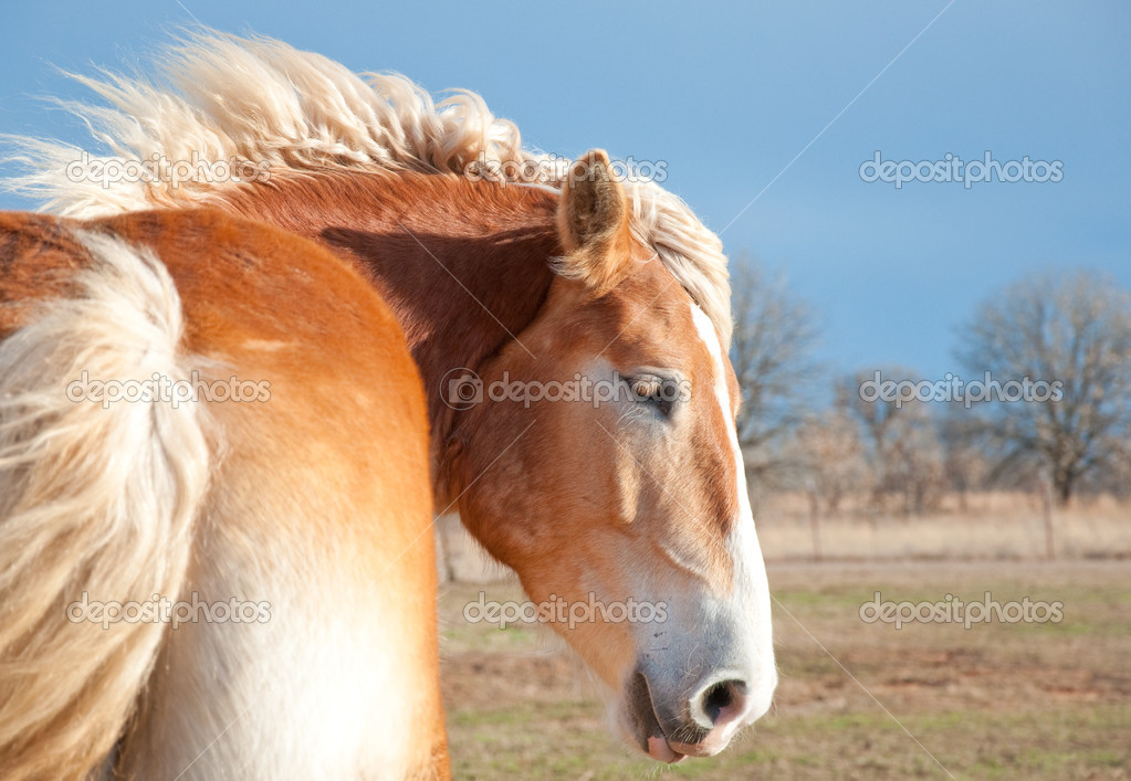 Beautiful blond Belgian Draft horse with his mane flying
