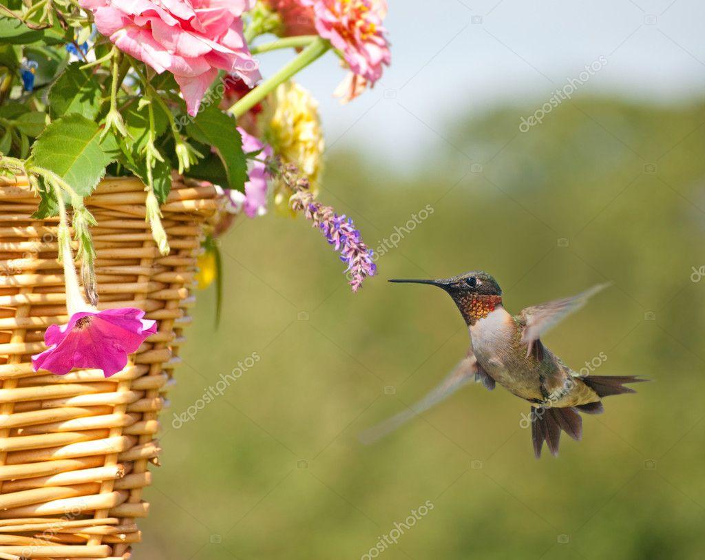 Beautiful male Hummingbird feeding on a tiny flower in a basket