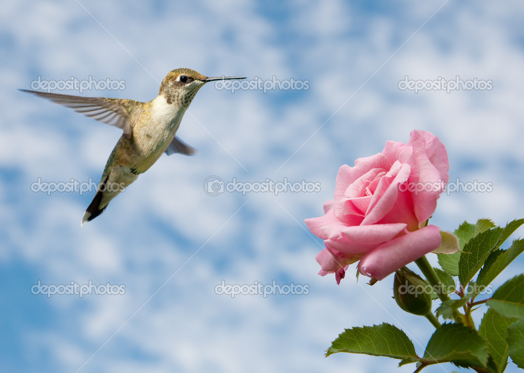 Tiny juvenile male Hummingbird hovering close to a Rose