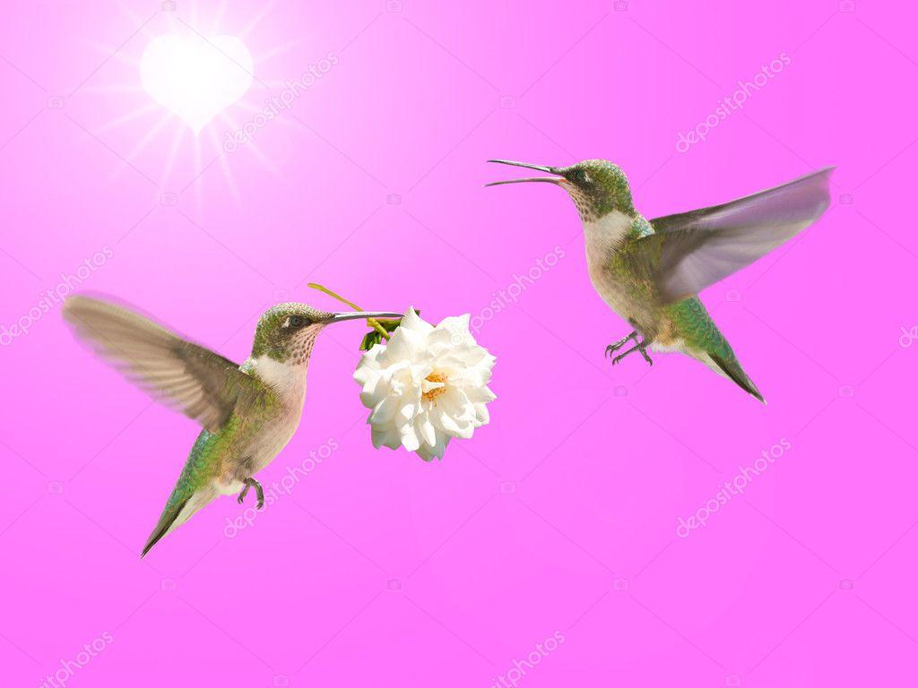 Colibrí Llevando Una Rosa Para Otra Foto De Stock Okiepony 5565859