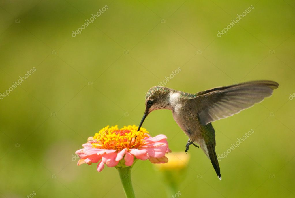 Tiny Hummingbird feeding on Zinnia flower