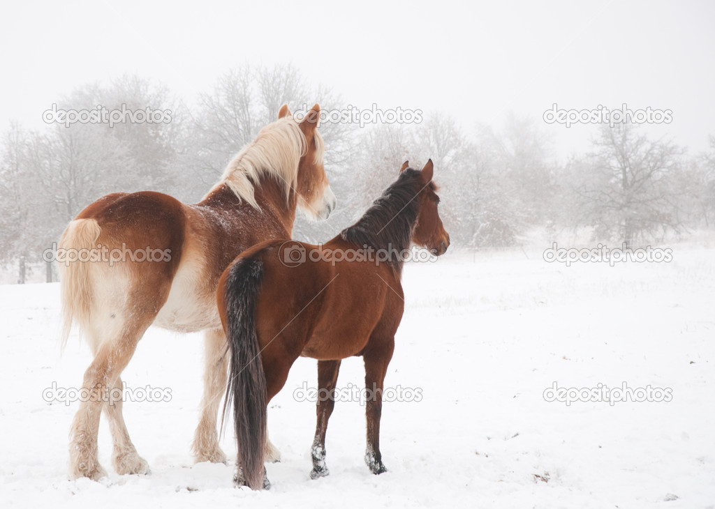 Two frosty horses, a big and a small one, looking into distance