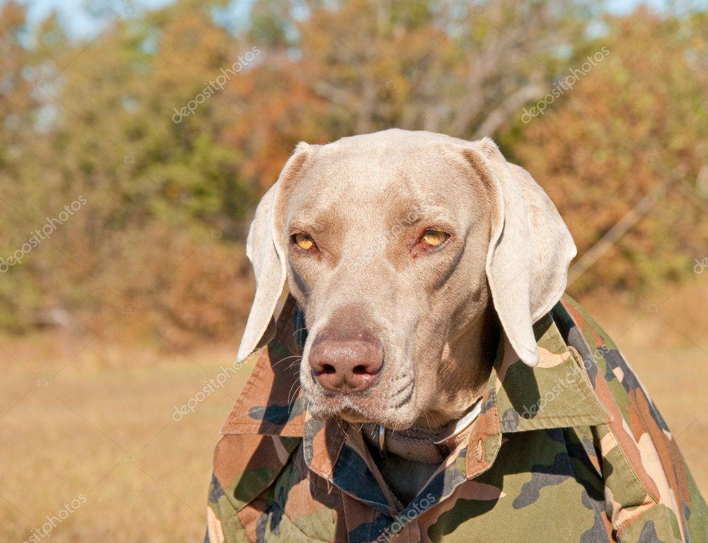 Weimaraner dog wearing a camo shirt