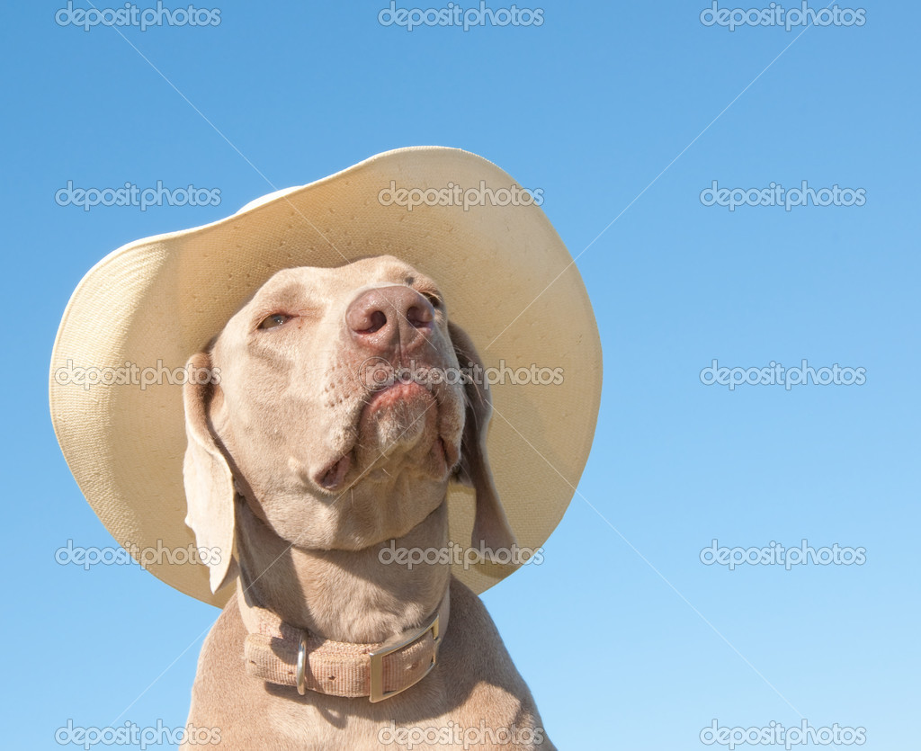Funny image of a Weimaraner dog in a cowboy hat
