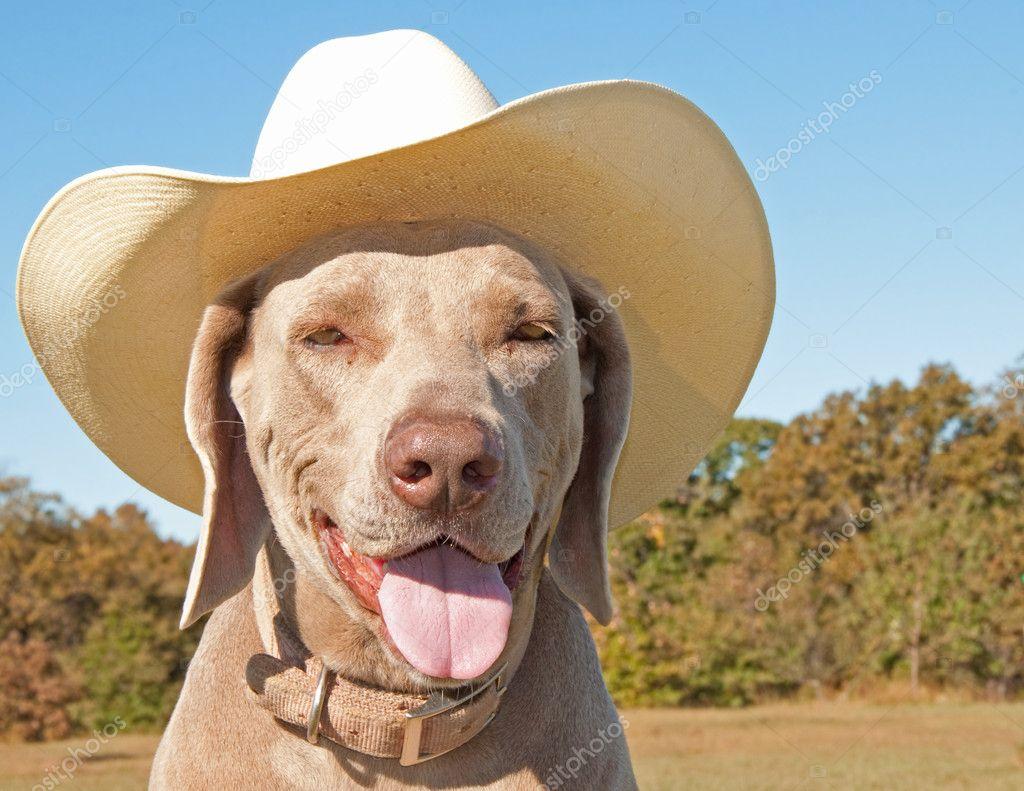 Weimaraner dog wearing a cowboy hat