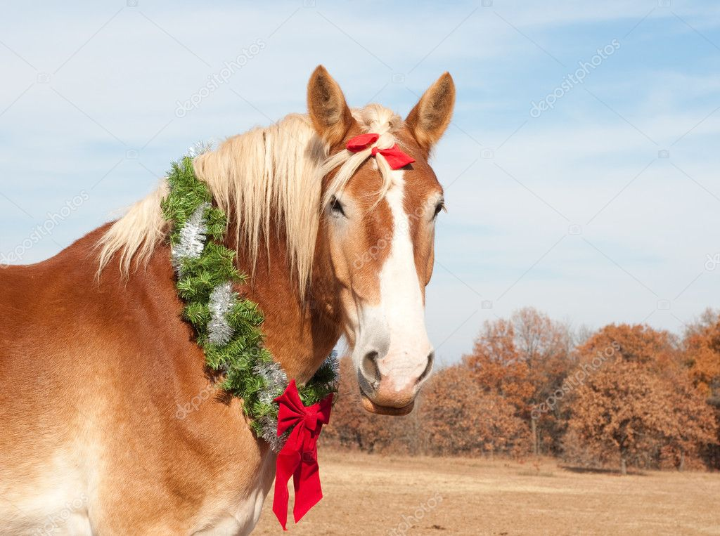 Belgian Draft horse with a Christmas wreath