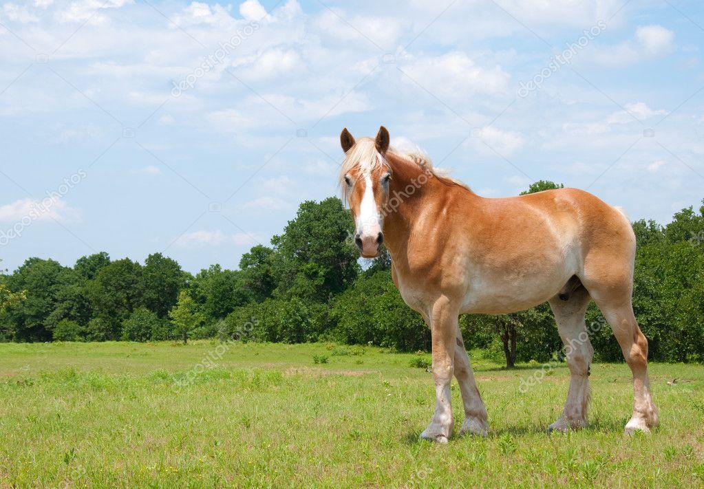 Beautiful Belgian Draft Horse looking at the viewer