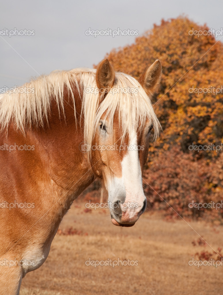 Belgian Draft horse in pasture against autumn trees