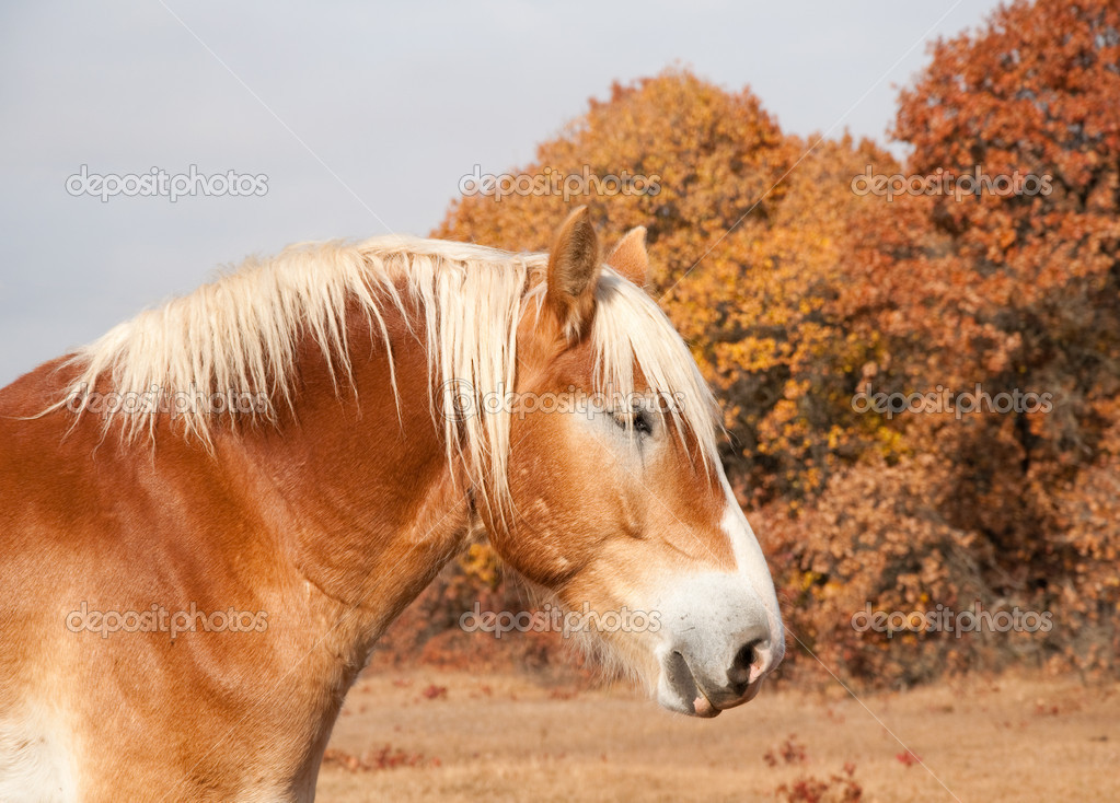 Profile of a beautiful blond Belgian Draft horse