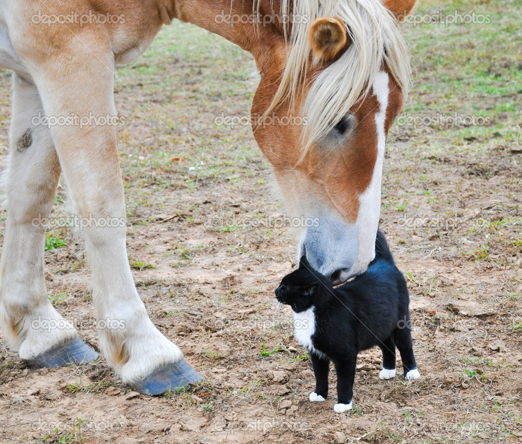Big Belgian Draft horse nibbling on a kitty cat