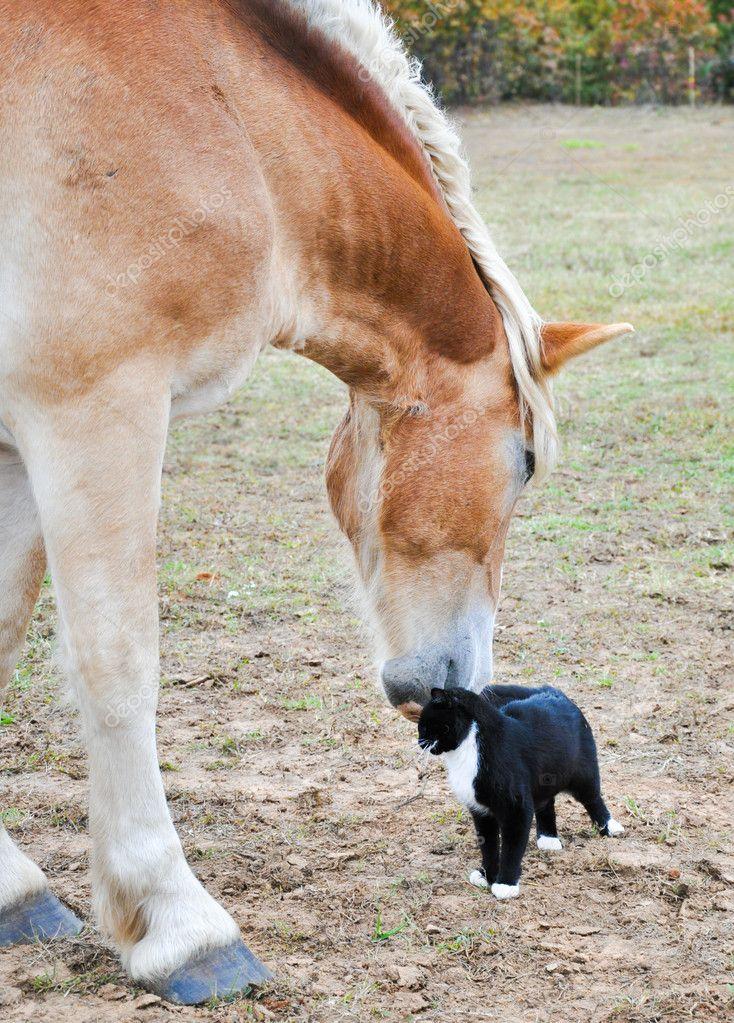Large Belgian Draft horse nuzzling on a tiny kitty cat