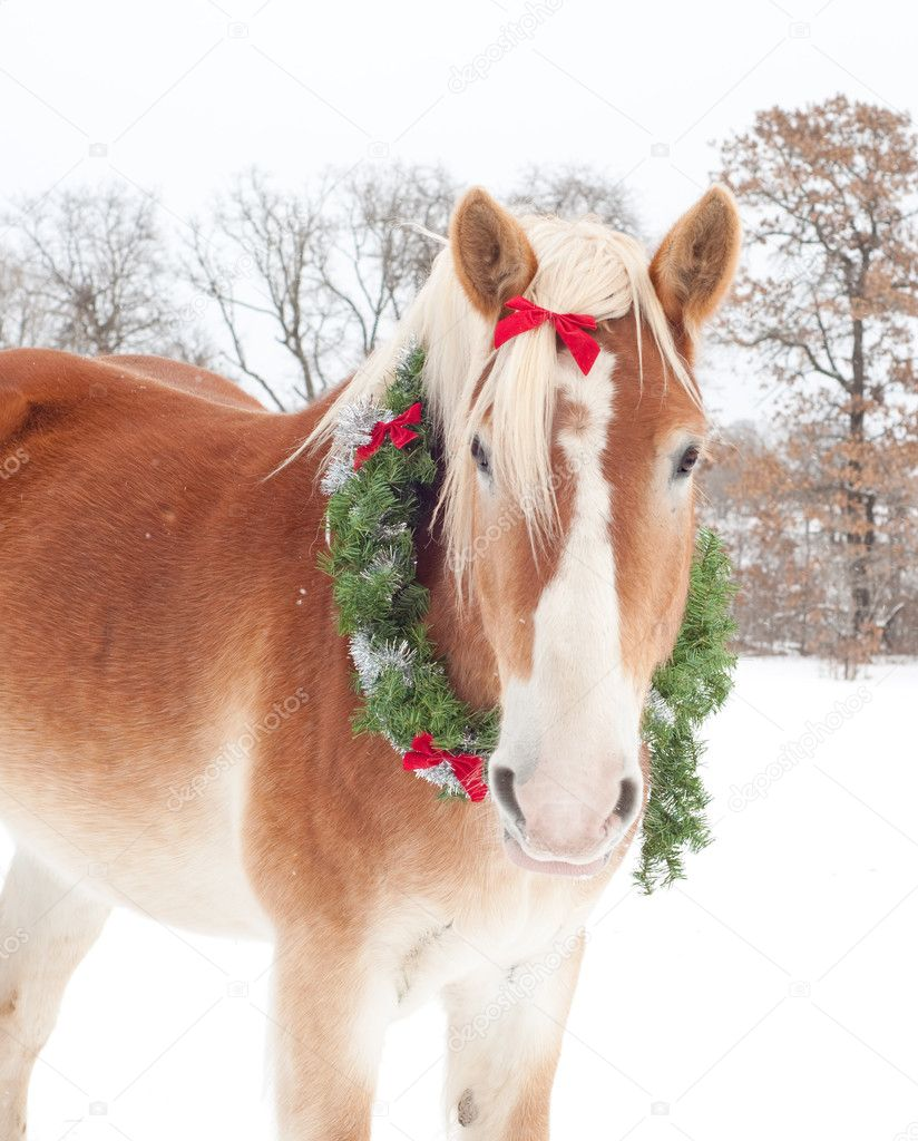 Handsome Belgian Draft horse wearing a Christmas wreath