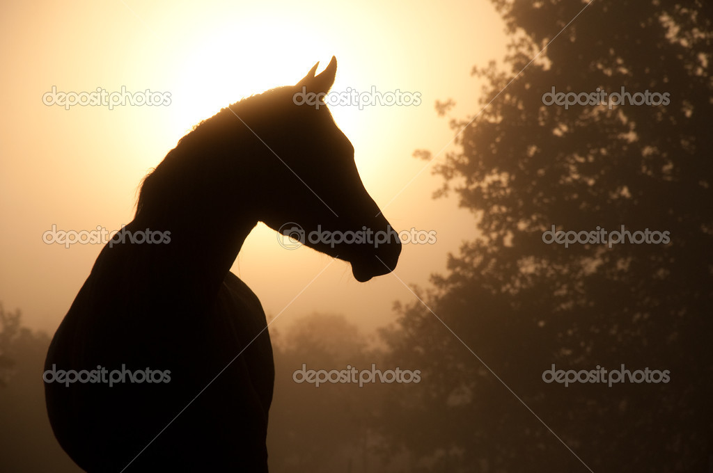 Silhouette of a beautiful Arabian horse