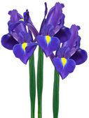 Fotografia iris viola