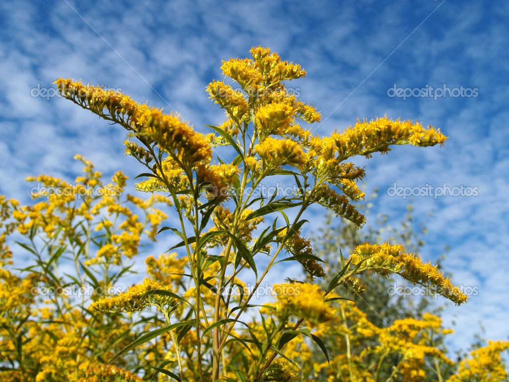 Blossoming golden rod Canadian against the sky