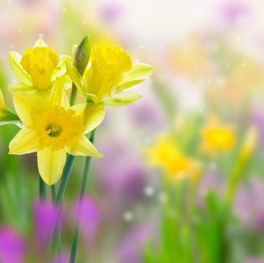 Beautiful yellow daffodil flowers on blurred background