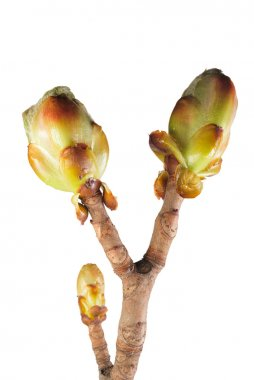 Chestnut leaf buds